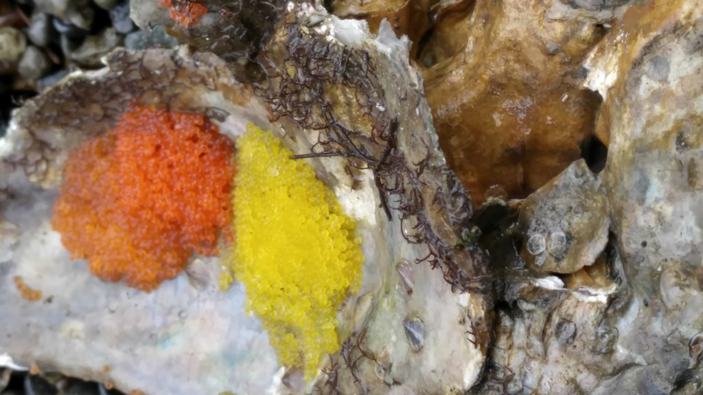 Brett's photo shows Spinyhead Sculpin eggs taking advantage of their cultured oyster shell in Tarboo Bay, WA.