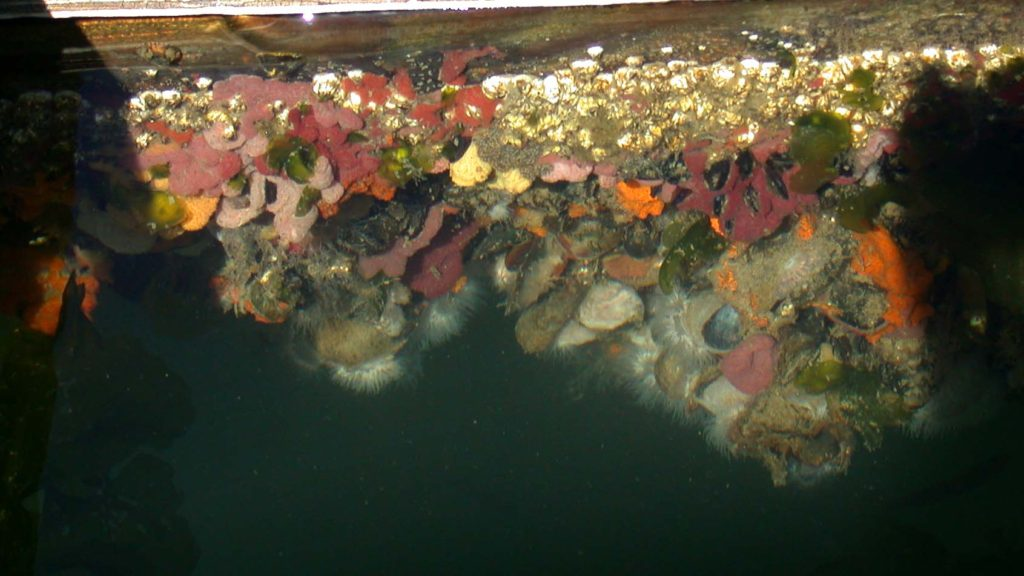 Linda's photo depicts habitat and protection provided by mussel rafts. The diverse layers of organisms throughout the rafts are incredible.  These pictures were taken from above the surface looking into the water. Photo taken in Olympia, WA.