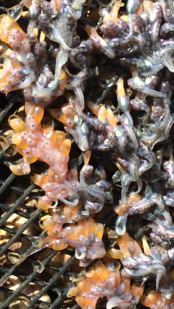 Becky's photo is of Sculpin fry who seek refuge under oyster grow bags. Aquaculture gear provides additional habitat for various intertidal organisms!