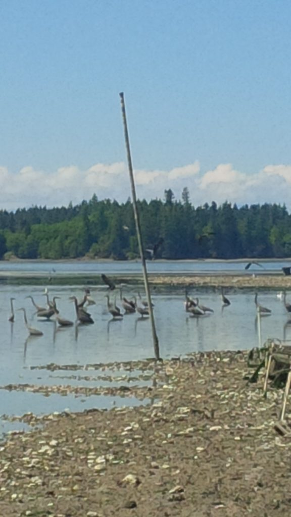 Sue's photo shows how every day, during low tide, pairs of Great Blue Herons travel from a rookery at the head of Henderson Inlet to gather on the Nisqually Indian Tribe oyster farm.  Whether the oysters are grown on the ground or suspended, the habitat they provide for smaller invertebrates draws forage fish who directly benefit from the abundant food source. Photo taken in Olympia, WA.