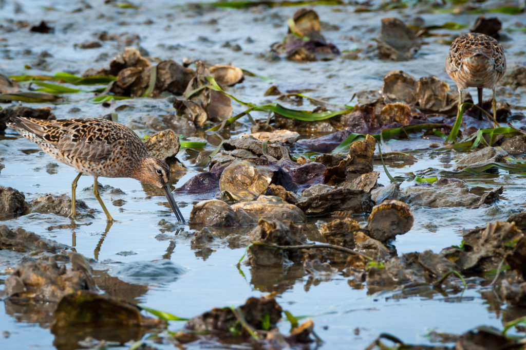 Here Bill shows Short Billed Dowitchers feeding in a complex of eelgrass and oysters at Goose Point Oysters in Willapa Bay, WA. This complex of oysters and eelgrass produces biofilms and habitat for numerous small prey items for foraging shorebirds.