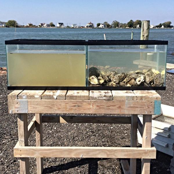 "Johnny says: ""The power of oysters on water quality."" His photo depicts how oysters clean the water; the tank on the left before the oysters, the one on the right shows the same water after oysters were added to the same water source. As you can see it shows how they filter and clean."