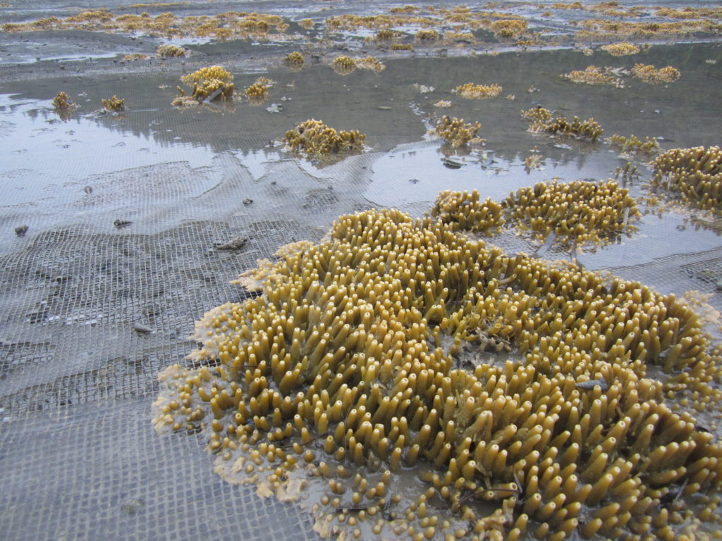 Nicole's photo shows lots of sponges (possibly breadcrumb sponges) using clam nets for habitat. Photo taken in Bellingham, WA.