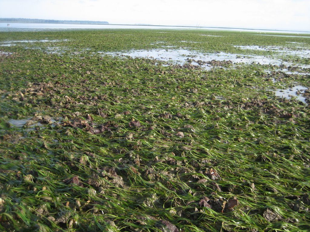 Paul's photo shows oysters and eelgrass co-habitating in Willapa Bay, WA. Both are critical habitat to their marine ecosystem.