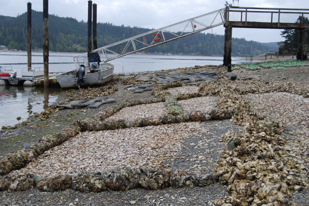Larry's photo shows the bags of shells used as burms to hold seed oysters inside the nursery and how they catch thousands of natural oyster spat during the spawn. The nursery creates habitat for fish, crabs, eels, and an abundance of marine plants and animals. Photo taken in Belfair, WA.