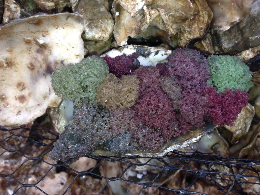 Sue Shotwell & Robert Johanson from the Nisqually Indian Tribe took this photo of Gunnel egg masses within their cultch seed bags. The space within the oyster cultch bags provides protection and essential interstitial space for spawning to occur.