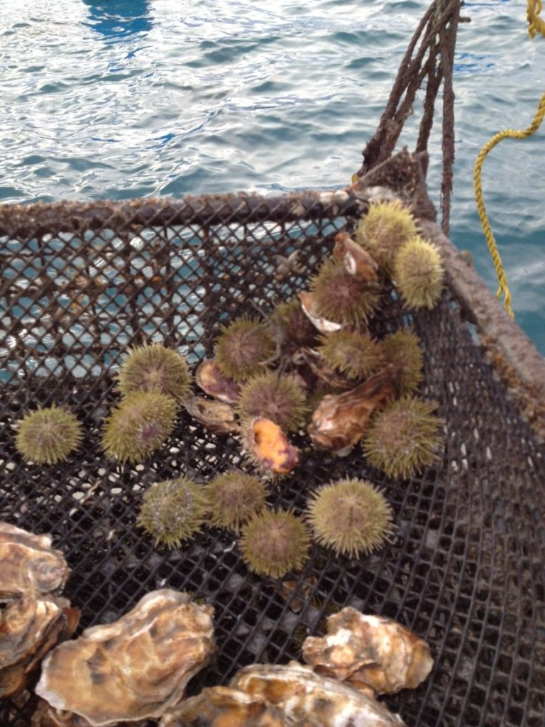 Weatherly's photo is of oyster cages and how they are great urchin habitat.  The grazing urchins help keep our cages and oysters clean. Photo taken in Homer, AK.