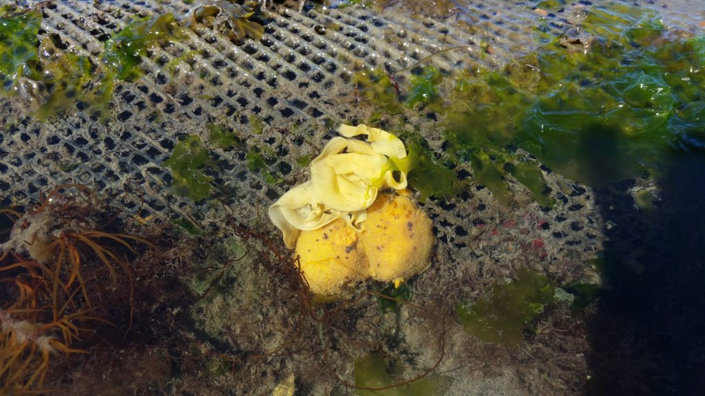 Bill's photo shows sea lemons (Doris montereyensis) mating and laying eggs on a predator net in Samish Bay, WA. This species feeds almost exclusively on sponges which are abundant on the nets on the Chuckanut Shellfish farm. Photo taken in Shelton, WA.