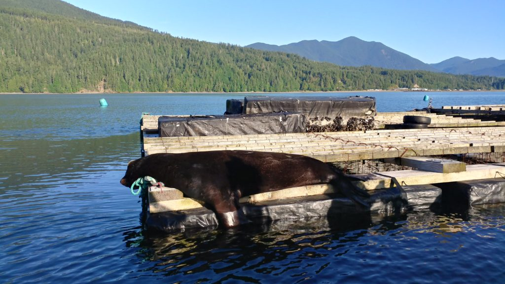 Dillon's picture shows a large Stellar sea lion hauled out on a mussel rafts in Quilcene Bay, WA. Shellfish rafts play an accessory role as a safe haul out site for marine mammals, one which is away from beach disturbances and provides quick access to the water for feeding. Rafts also provide quick escape for sea lions and seals when orcas are present.