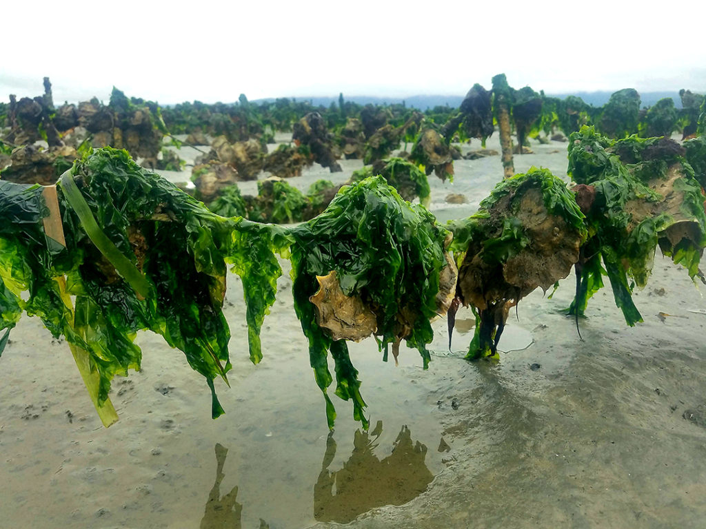 Our oyster long lines proved substrate for diverse algal communities to grow throughout the late spring and summer months. These alga, like the Ulva in this picture, provide food for native fish, invertebrates, and birds, promoting a healthy and diverse ecosystem within Humboldt Bay.
