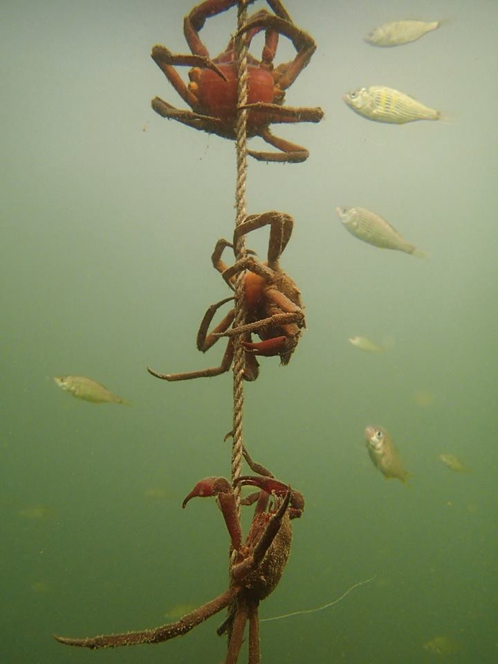 """I found these crabs hanging around one of many buoy line in Spencer Cove in the south Puget Sound. Buoys and lines are useful tools for anyone who utilizes the ocean and its natural resources as markers, way points, and boundaries. Kelp crabs, oblivious to the original intent of ropes, utilize these lines to buoys as a high point to capture passing food mimicking their namesake, kelp."""