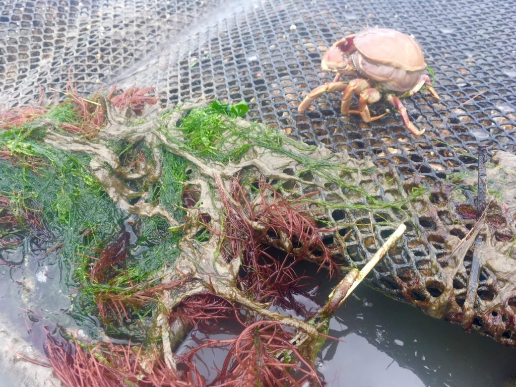 Duane Fagergren: This bag of Olympia oysters on a rack at -2.5 ft. elevation has quite an assemblage of plants and invertebrates. Red, green and brown algae settle on the bag, and shrimp exited the bag as the tide receded. The Graceful crab is in molting condition and sought refuge on top of the bag until the old shell can be shed.