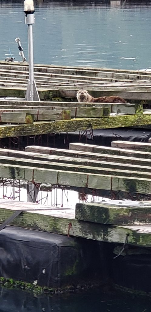 Ian Jefferds: A big river otter (Lontra canadensis) is shown hauled out on our mussel raft in Quilcene Bay.  The river otters are adept at catching fish and eating shellfish found around floating mussel rafts, where food is plentiful and the otters have a safe place to rest.