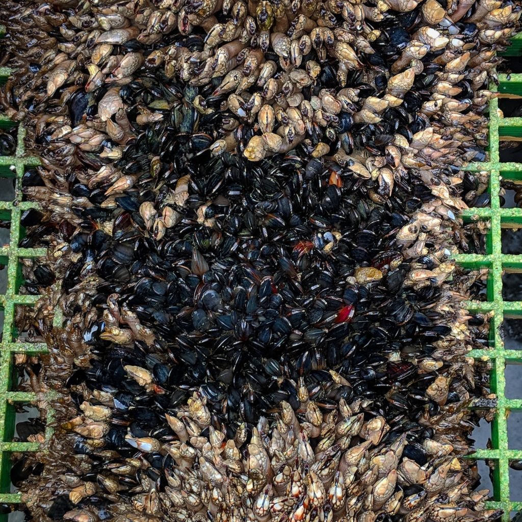 Daniel Holsapple: At our company's facility in Humboldt Bay we raise juvenile oysters in tanks on a small barge. As seawater is pumped into the tanks and through the oysters it pours back into the bay through the deck grating. This creates an artificial intertidal zone where goose barnacles, mussels, limpets, and algae can flourish.