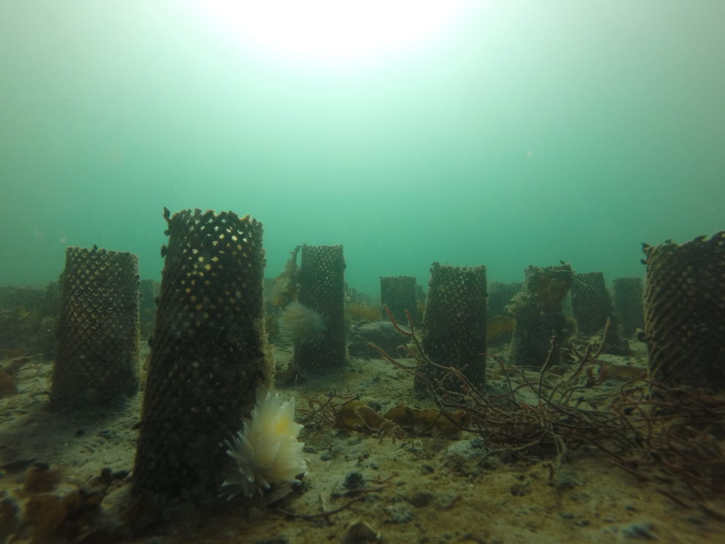 Nick Wenzel:  Deep intertidal mesh tubes provide a great surface for organisms such as hydroids, bryozoans and anemones to grow on.  These organisms are an important food source for many animals, including the three White-Lined Dirona nudibranchs pictured here.